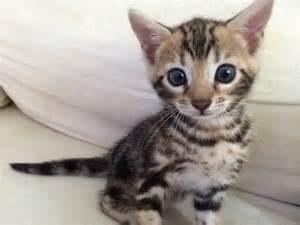 Kitten 3 brown marble bengal female
