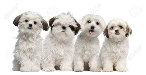 kinds of shih tzu shih tzu adventure