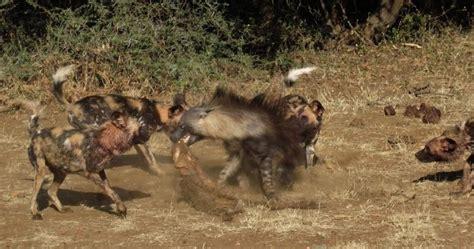 are hyenas dogs image gallery hyena vs