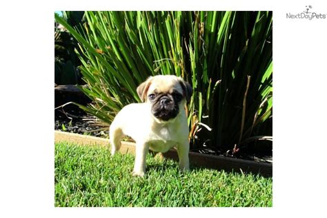 pug puppies for sale new orleans craigslist baton pets autos post
