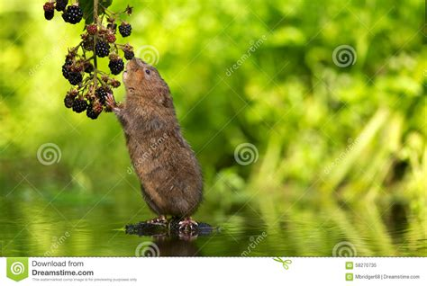 themes of blackberry picking water vole blackberry picking stock photo image 58270735