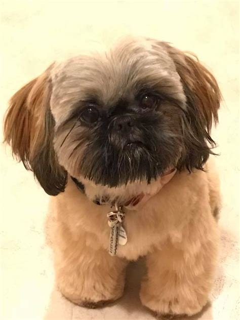 29 best shih haircuts images on pinterest bath cute 17 best images about shih tzu hair styles on pinterest