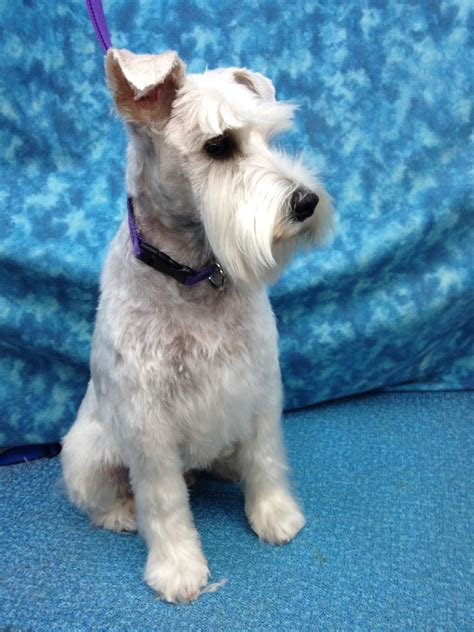 schnauzers hair cuts image gallery schnauzer haircuts