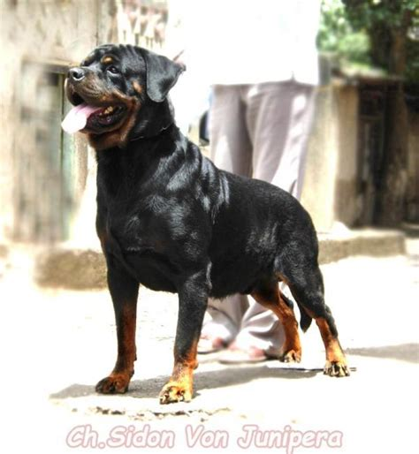 rottweiler puppies price in pune rottweiler puppies for sale vikrant surve 1 6795 dogs for sale price of puppies