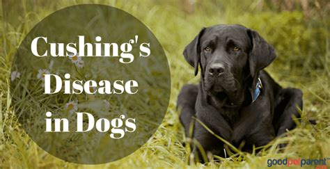 cushing s disease for dogs cushing s disease in dogs pet parent