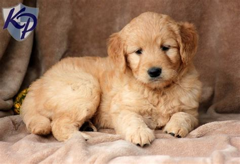 mini doodle breeders in pa pluto miniature goldendoodle puppies for sale in pa