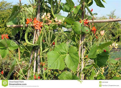 climbing bean plant climbing beans ready to stock photo image 32910596