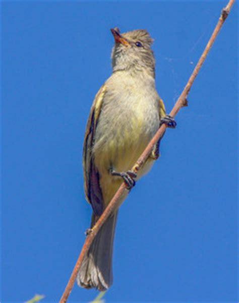 dusky colored stoma tyrannidae tyrant flycatchers discover
