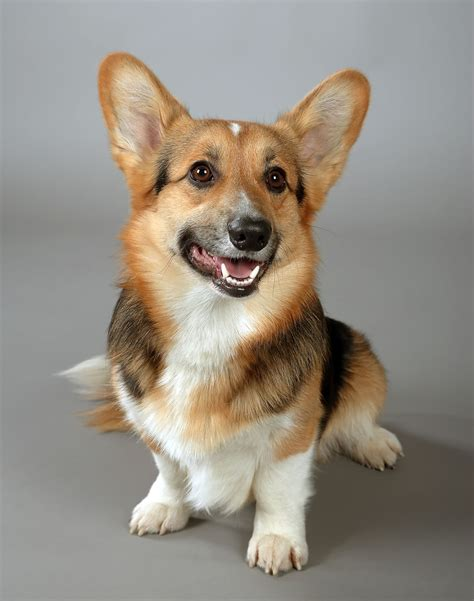 best food for corgi puppy corgi breed information pet365