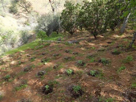 Shasta County Superior Court Search 10 942 Growing Marijuana Plants Eradicated During Raid In Alps Preserve Lost