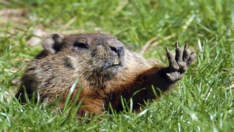 groundhog day history groundhog day 2016 5 fast facts you need to heavy