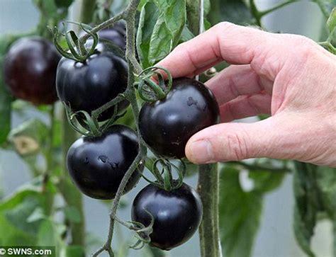 1pack Indigo Tomatotomat Ungu tomat ceri hitam antikanker bebeja