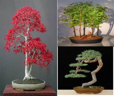Bibit Bonsai Maple jual benih biji 3 macam bonsai import pinus jepang