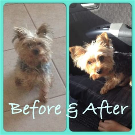 before and after pics of yorkie haircuts my yorkie before and after yelp