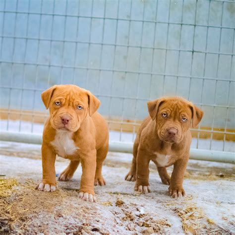 rottweiler pitbull puppies for sale pics for gt rottweiler mixed with nose pitbull