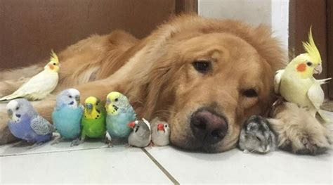 huffington post golden retriever golden retriever snuggles with eight birds and a hamster photos pets headlines