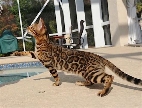 baby bengal kitten prices 25 best ideas about bengal cat price on pinterest
