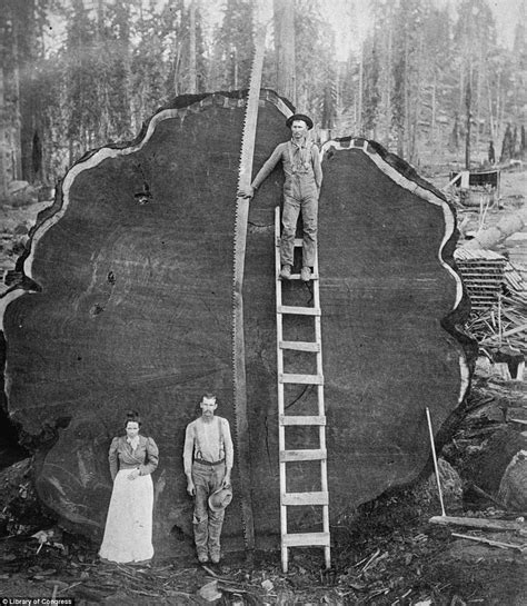 cutting a tree down in sections giant sequoia national geographic pictures of giants of