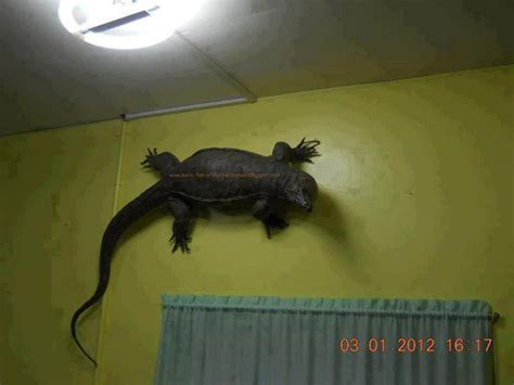 house lizard gigantic house lizards morefuninthephilippines