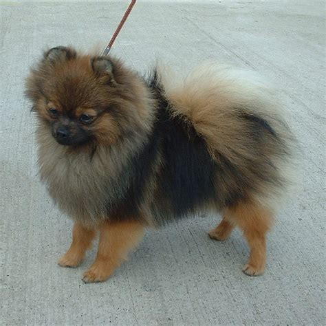 pomeranian wiki pomeranian simple the free encyclopedia
