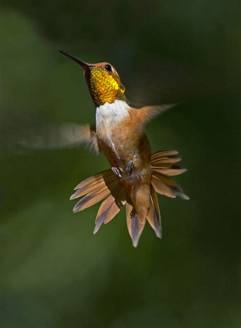 rufous hummingbird the audubon birds climate change report