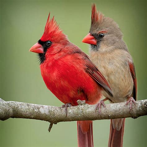 voices and vocabularies cardinals duet birdnote