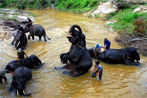elephants training  riau