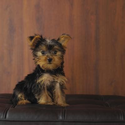 yorkie haircuts for a silky coat how to do a puppy cut on a silky coat yorkie pets