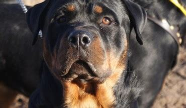 real rottweiler rescue posts by fife rottweiler rescue dogs for adoption rescue dogsblog