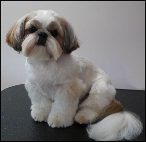 mr foo shih tzu mr foo s shih tzu of indiana kentucky missouri illinios ohio michigan