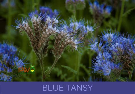 plant therapy blue tansy essential top 100 essential oils blue tansy to cayenne