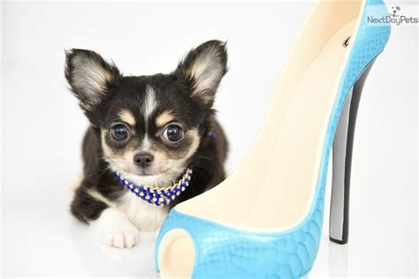 chihuahua puppies for sale in ma 1 chihuahua puppy for sale near worcester central ma massachusetts 88811588