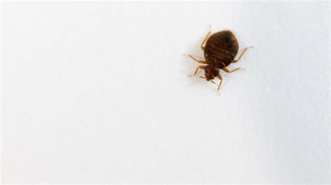 how common are bed bugs bed bugs debunked aai pest control pest control