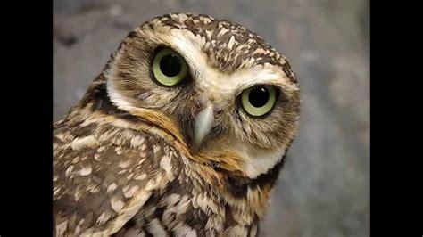 imagenes infantiles lechuzas b 218 hos y lechuzas owls mundo animal para ni 209 os birds