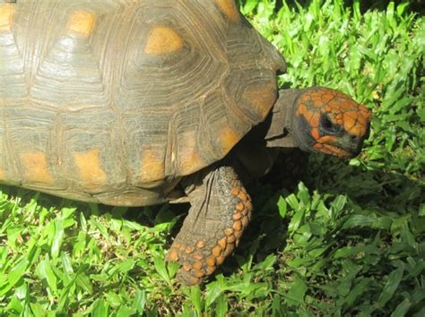 pet species pet quot jabuti quot species of turtle beat