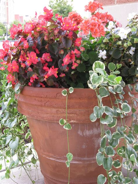 a begonia and vinca vine container garden idea for partial shade