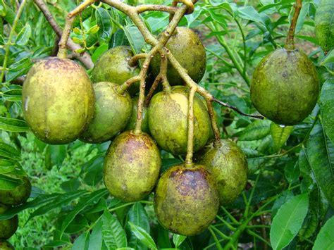 Buah Plum 10 health benefits of spondias dulcis kedondong juplon golden apple for your