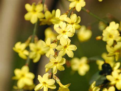 gelsomino giallo in vaso gelsomino giallo jasminum nudiflorum giardinaggio mobi