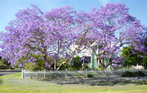 the dream tree jacaranda sydney icon sydney living museums