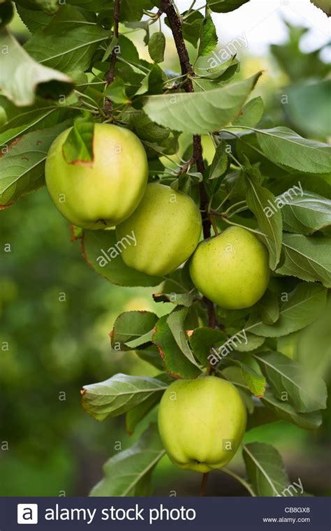 green apple great english green apples growing on apple tree okanagan valley osoyoos british stock photo royalty free