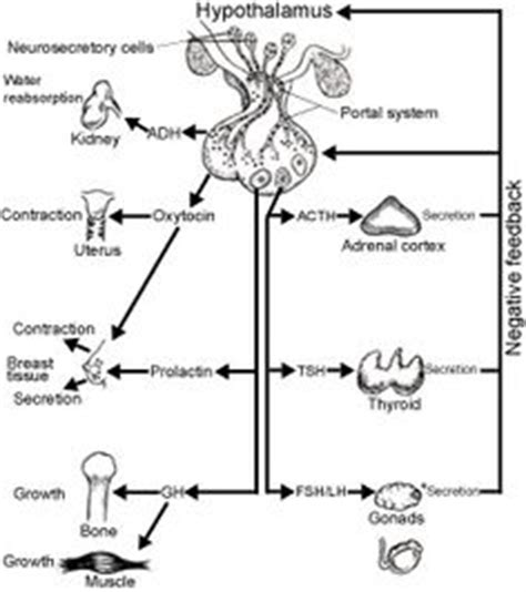 anatomy and physiology coloring book endocrine system human anatomy and physiology class on