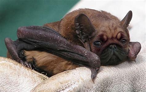 bat pug pug bat lol bats in my belfry
