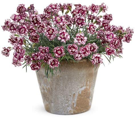 pretty potted perennials proven winners