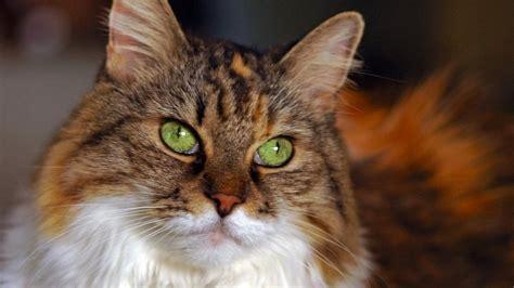imagenes de ojos verdes de gatos gato ojos verdes hd 1366x768 imagenes wallpapers