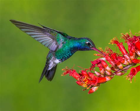 image gallery hummingbird feeding
