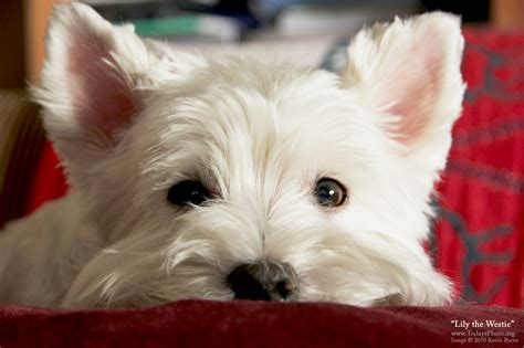 lily the westie