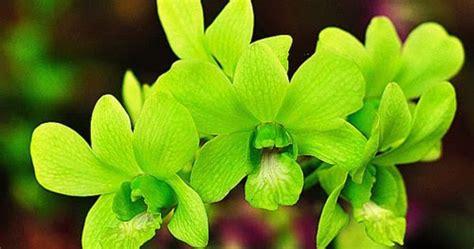 Anggrek Hijau bunga anggrek hijau