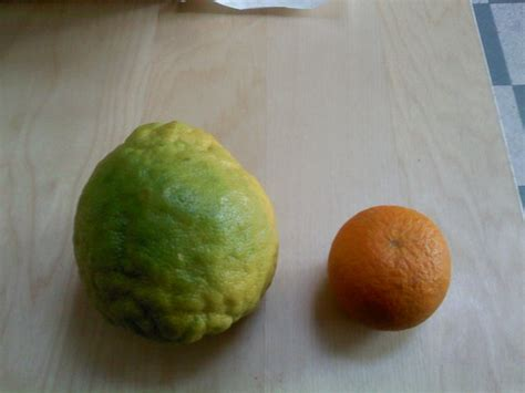 cross pollination fruit trees forum can cross pollination effect the flavour of citrus