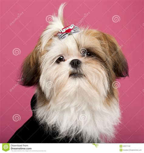 5 month shih tzu up of shih tzu 5 months stock photo image 20377740