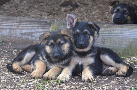 purebred czechoslovakian wolfdog puppies for sale german shepherd puppies for sale in florida with international breeds picture